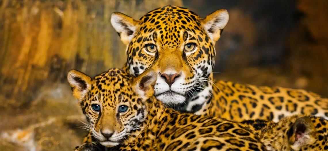 Crece población de jaguares en México, aún sigue en peligro de extinción