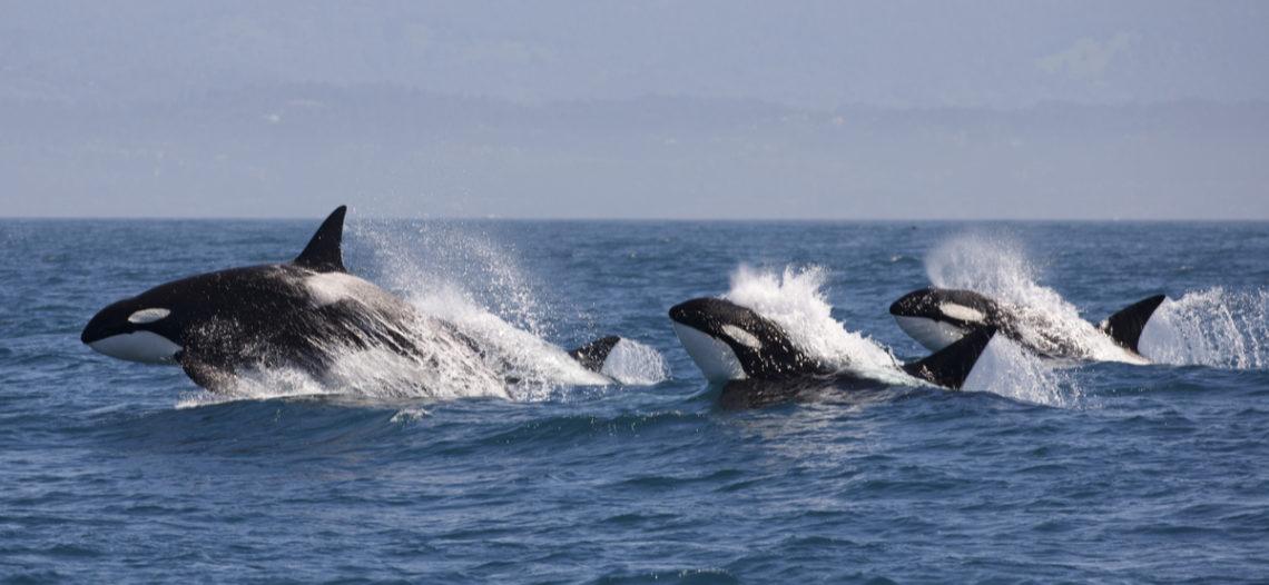 Población de orcas llega a su nivel más bajo en 30 años
