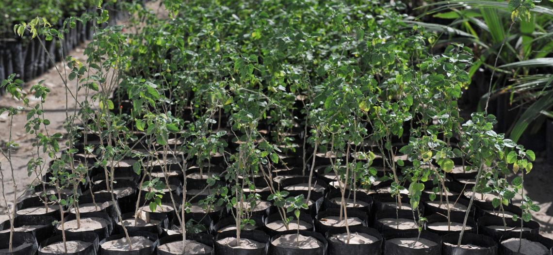 Tiene Implan meta de plantar 50 mil árboles