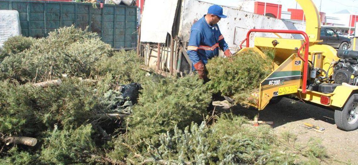 Un éxito el operativo de acopio y trituración de pinos navideños naturales