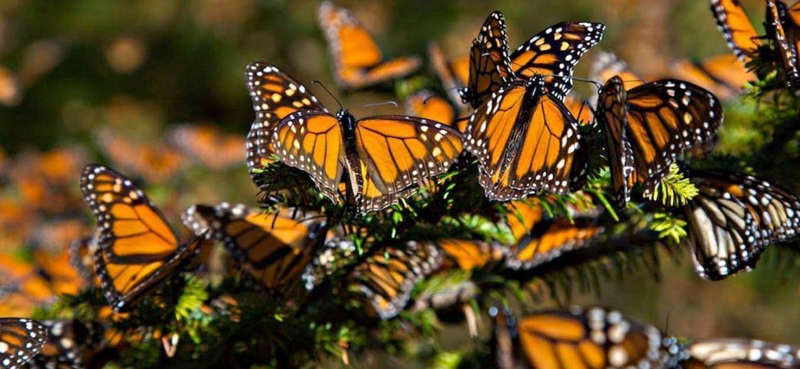 Medidas de Trump pondrían en peligro a la mariposa monarca